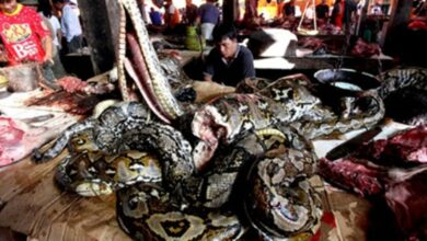 Photo of Heboh Daging Ular Dijual di Pasar Swalayan