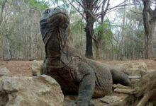 Photo of Anggota DPD RI asal NTT ini Nilai Wisata Premium Bisa Musnahkan Habitat Komodo