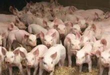 Photo of Korsel Musnahkan 1.500 Babi, Ini Alasannya