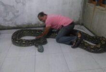 Photo of Hendak Buang Sampah, Warga Maros Temukan Ular Sanca Batik Sepanjang 11 Meter