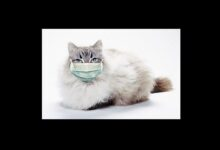 Photo of Setelah Anjing di Hong Kong, Kini Ada Kucing di Belgia Terinfeksi Virus Corona